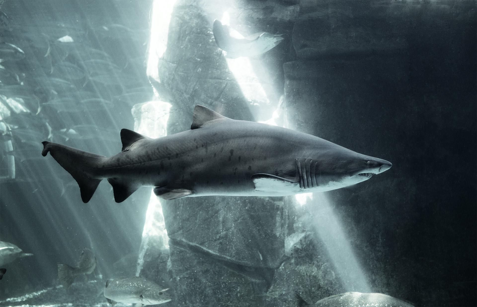 Ragged_tooth_Shark_1