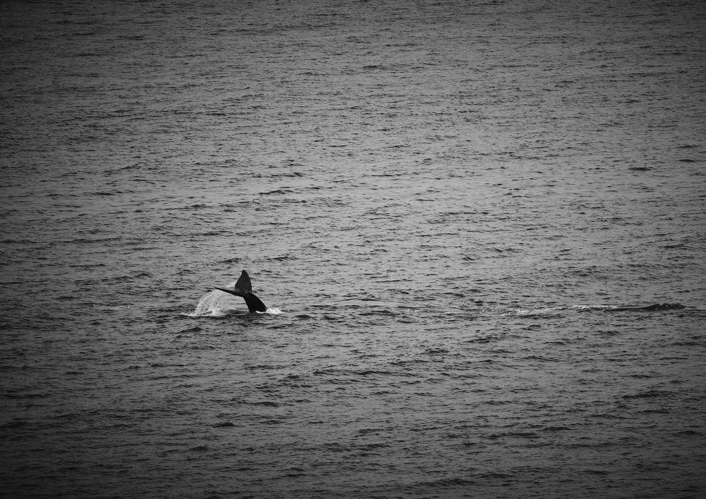 hermanus_whale